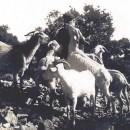 Cabres catalanes autóctones a la localidat de Camarasa (La Noguera), durant els anys 1930.